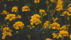 Yellow Marigold Flowers HQ Image Free Wallpaper