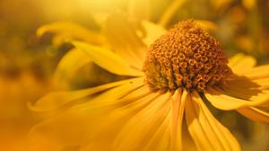 Yellow Daisy Download HQ Wallpaper
