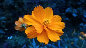 Beautiful Orange Flower Free Transparent Image HQ