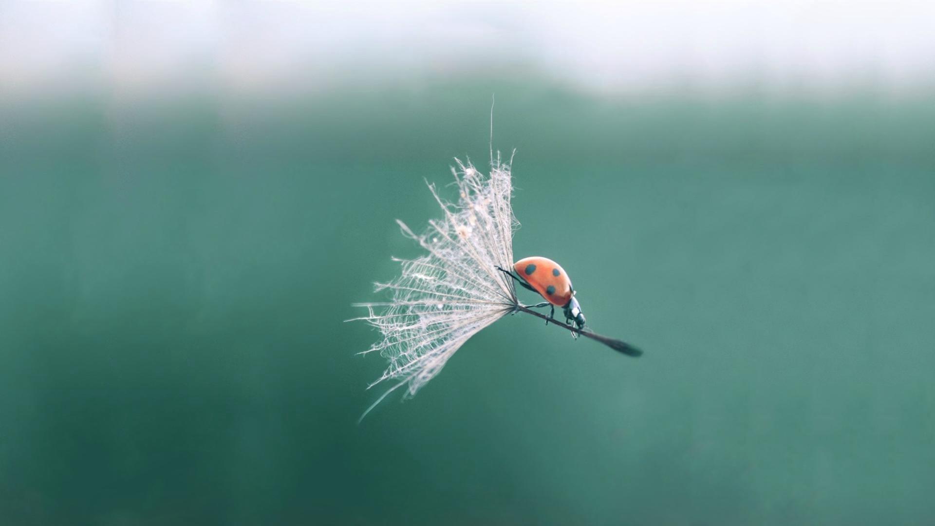 ladybug,blowball,flight,dandelion,mobile,ladybird,flying,with,fast,air,waving,blossom,dandelions,flowers,fluttering,heyday
