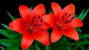 Red Lilies Flowers Couple Free Wallpaper HQ