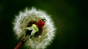 Crawling Ladybird On Dandelion Free Download Wallpaper HQ