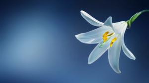 Lily Flower With Light Effect Background HQ Image Free Wallpaper