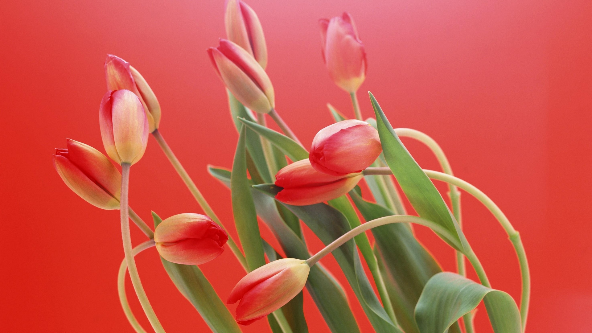 prime,and,pinko,tulips,blossom,cherry,red,peak,background,flush,scope,flowers,ruby,backdrop,redness