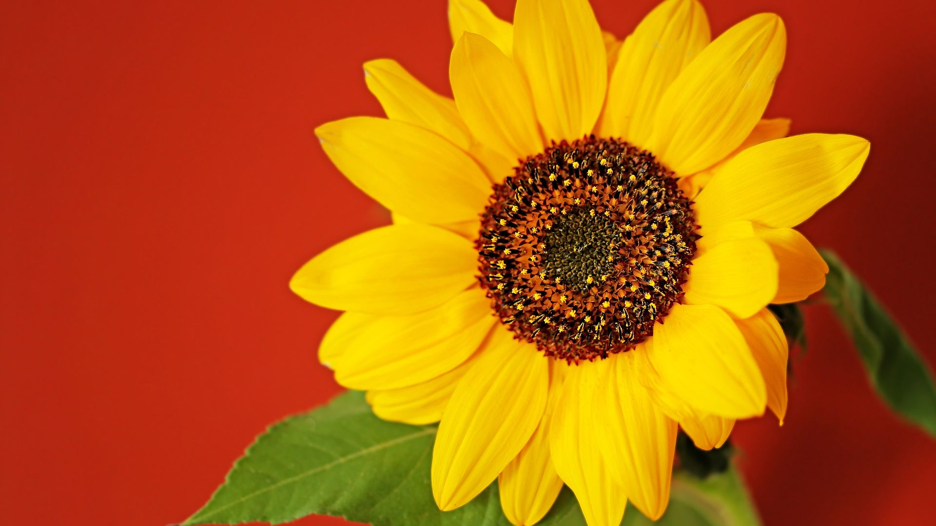 Sunflower With Red Background Free Wallpaper Hq Mewallpaper