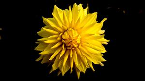 Yellow Clustered Flower Dark Free HD Image