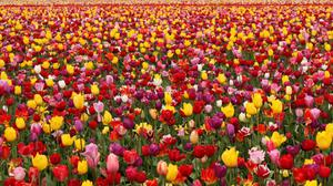 Tulips Field Hd Download HD Wallpaper