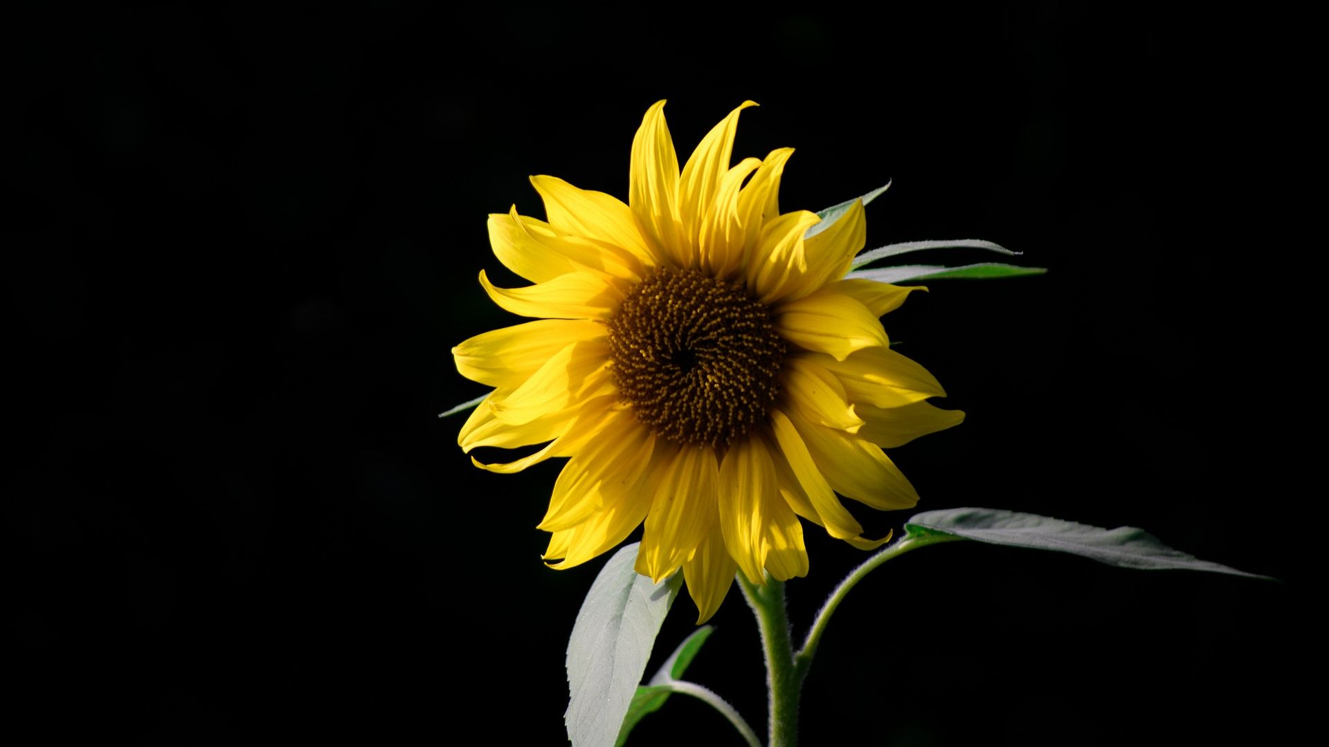 sunflower,blossom,screen background,lightlessness,with,negro,coloured,black person,black,peak,background,background signal,scope,flowers,bloom