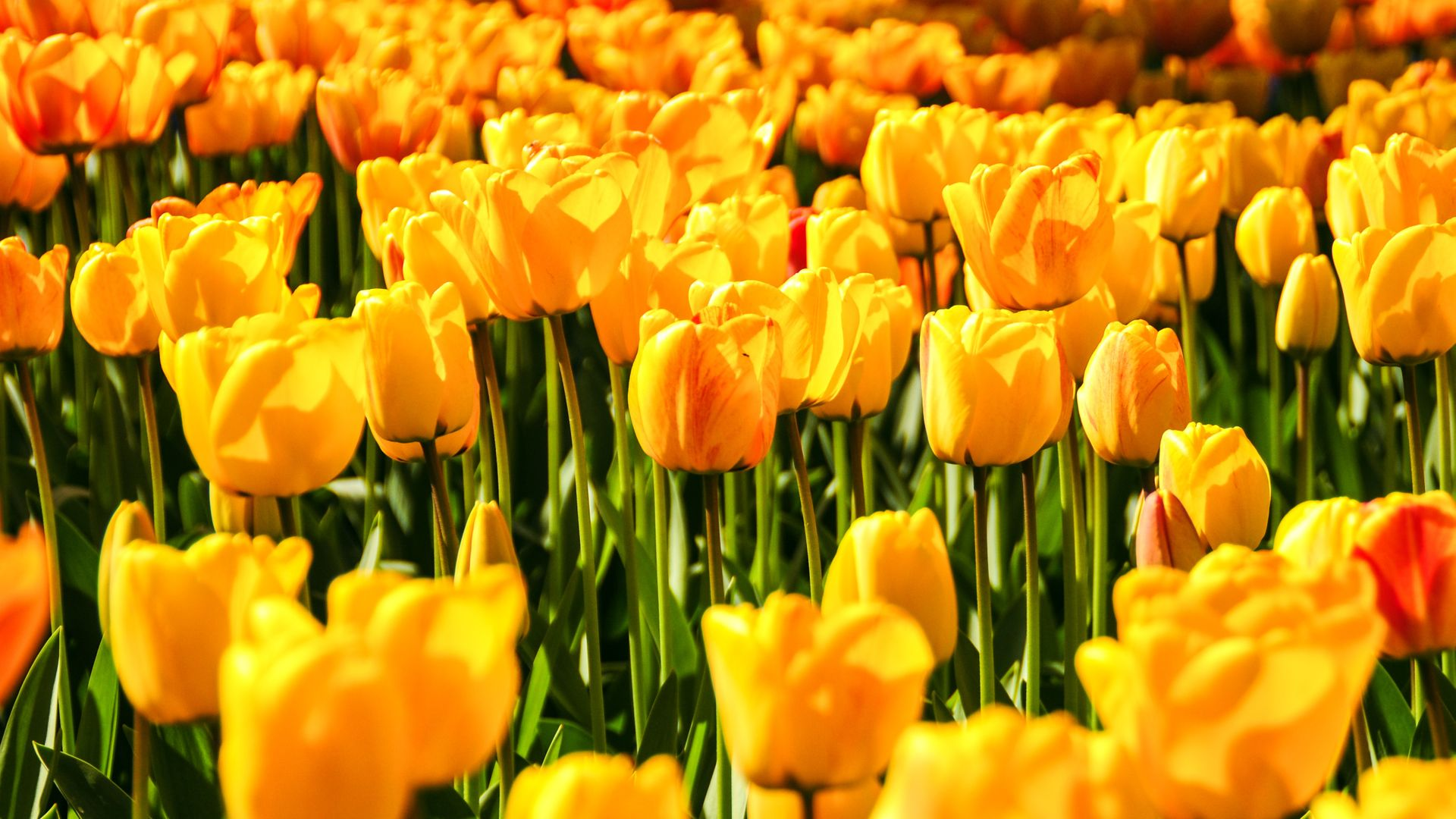 branch of knowledge,battlefield,landing field,field,study,yellowness,yellow,field of battle,tulip,landscape,flush,playing area,chicken,flowers,heyday