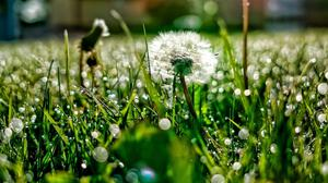 Dandelion And Grass With Dew HQ Image Free Wallpaper