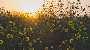 Yellow Daisy Flowers During Sunset Free HD Image