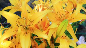 Lily Yellow Striped HD Image Free Wallpaper