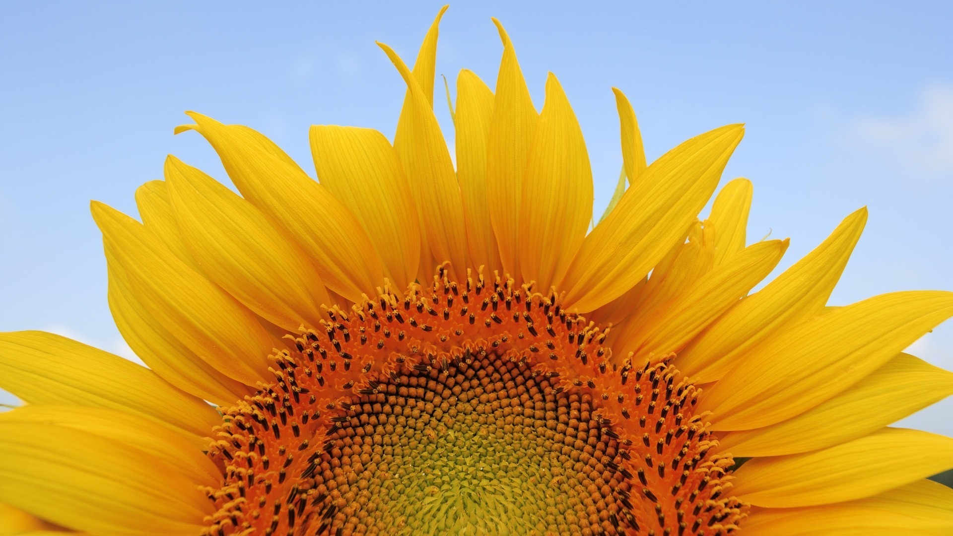 prime,sunflower,blossom,half,efflorescence,one half,helianthus,peak,flush,flowers,bloom,heyday