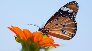 Monarch Butterfly On Top Of Flower Wallpaper Image High Quality