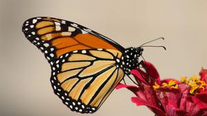 Butterfly Perching On Red Flower Download Free Image