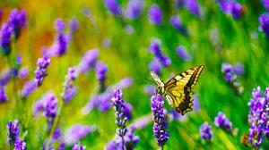 Tiger Swallowtail Butterfly On Purple Lavender Flower Free HQ Image