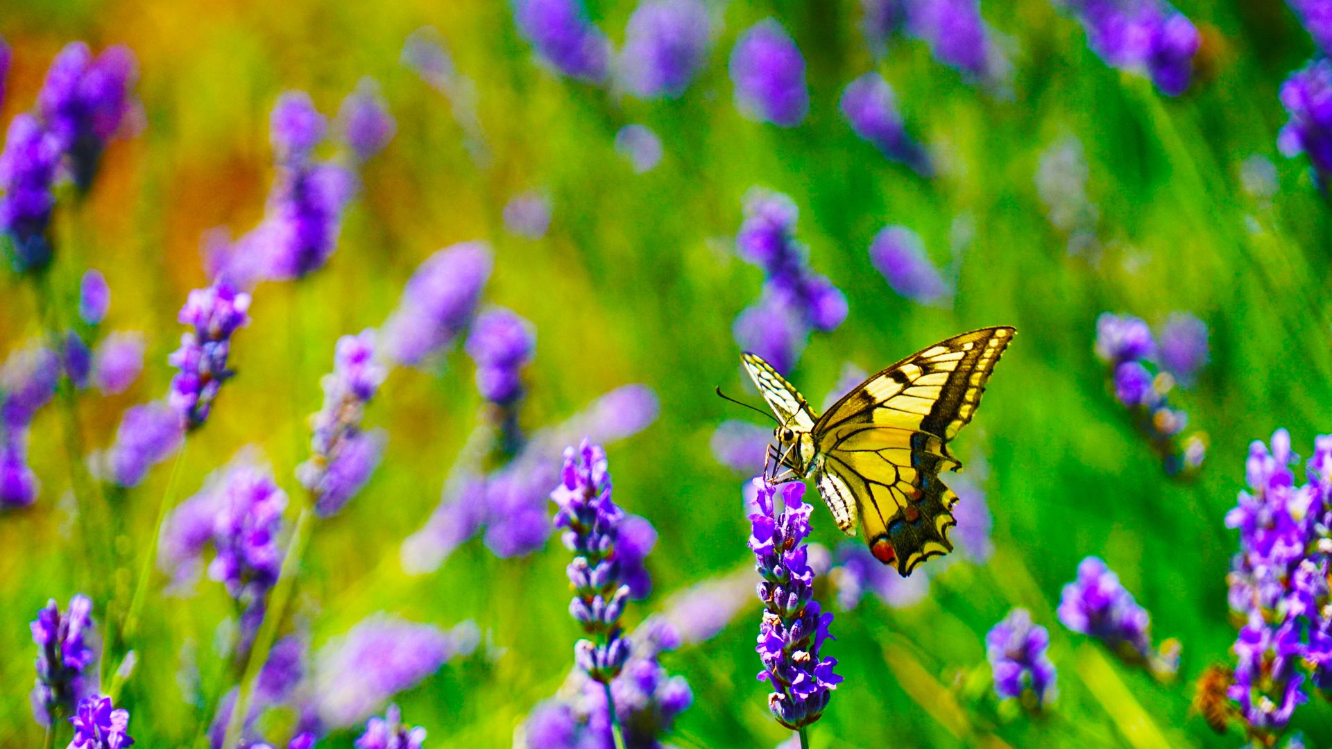 prime,butterfly,efflorescence,state of nature,lilac,on,purple,violet,lavender,panthera tigris,imperial,tiger,butterfly stroke,swallowtail,flower,flush,cosmos,nature