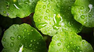 Water Drops On Green Waterlily Wallpaper Download Free