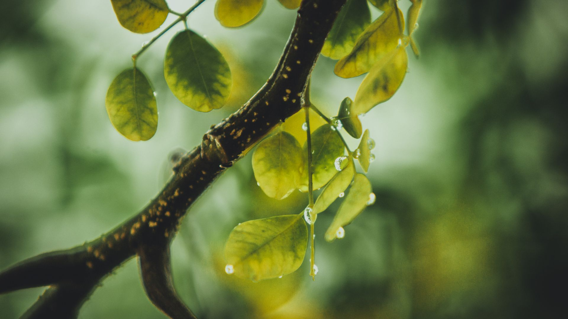 rainfall,leafy vegetable,piddle,raw,with,universe,nature,tree,leafed,rain,water,hidrosis,diaphoresis,green,pee,natural state,natural phenomenon,droplets