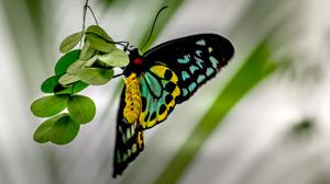 Cairns Birdwing Butterfly On Green Leaf Free Download Image