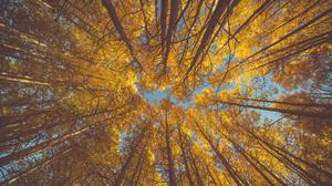 Yellow Autumn Aspen Forest Canopy Free HD Image