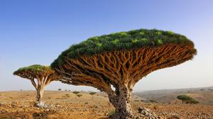 Dragon Blood Tree HD Image Free Wallpaper