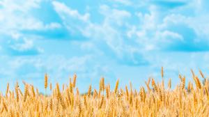 Golden Wheat Field Free HQ Image
