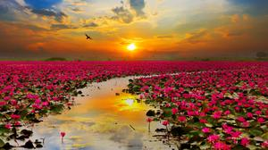 Lotus Flowers Sunset Hd Free Photo Wallpaper